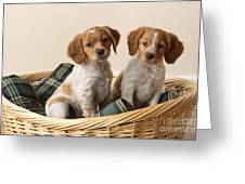 Brittany Dog Puppies In Basket Greeting Card