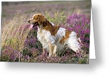 Brittany Dog, Standing In Heather, Side Greeting Card