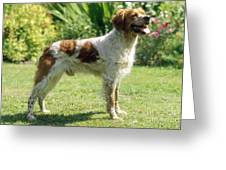 Brittany Dog, Standing Side Greeting Card