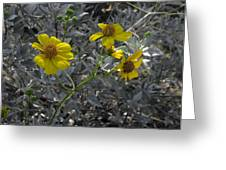 Brittlebush Flowers Greeting Card