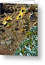 Brittlebush On Borrego Palm Canyon Trail In Anza-borrego Desert Sp-ca Greeting Card