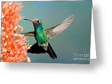 Broad-billed Hummingbird At Ocotillo Greeting Card