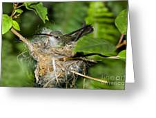 Broad-billed Hummingbird In Nest Greeting Card