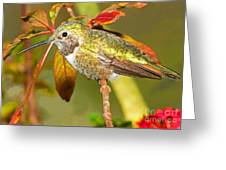 Broad Tailed Hummingbird Greeting Card