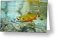Brook Trout And Artificial Fly Greeting Card