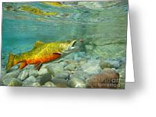 Brookie With Wet Fly Greeting Card