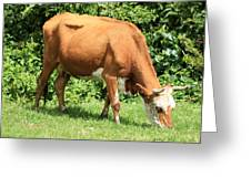Brown And White Cow Grazing Greeting Card