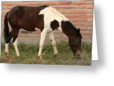 Brown And White Horse In Cotacachi Greeting Card