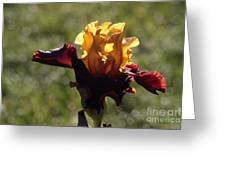 Brown And Yellow Iris Greeting Card
