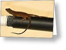 Brown Anole On Pipe Greeting Card