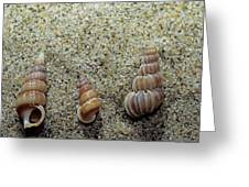 Brown-banded Wentletrap Greeting Card