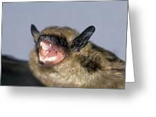 Brown Bat Eptesicus Fuscus Greeting Card