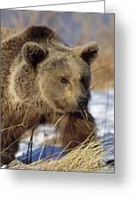 Brown Bear Eating Dry Grasses Greeting Card