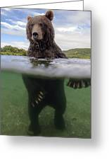 Brown Bear In River Kamchatka Russia Greeting Card