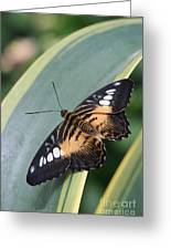 Brown Clipper Butterfly #4 Greeting Card
