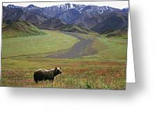 Brown Grizzly Bear In Denali National Greeting Card