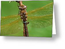 Brown Hawker Dragonfly Switzerland Greeting Card