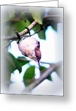 Brown-headed Nuthatch 9173-006 Greeting Card