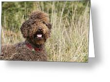 Brown Labradoodle In Field Greeting Card