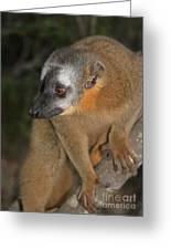 brown Maki Madagascar 2 Greeting Card