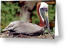 Brown Pelican Incubating Eggs Greeting Card