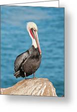 Brown Pelican Pelecanus Occidentalis Greeting Card