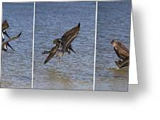 Brown Pelican - Triptych Greeting Card