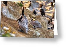 Brown Pelicans At Rest Greeting Card