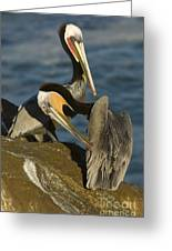 Brown Pelicans Greeting Card