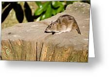 Brown Rat On Log Greeting Card