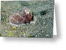 Brownstripe Octopus Burying Itself Greeting Card