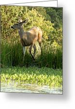 Buck At Pond  Greeting Card