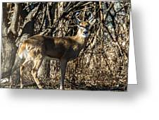 Buck In The Woods Greeting Card