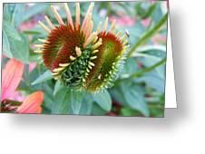 Budding Coneflower Greeting Card