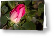 Budding Pink Rose Greeting Card
