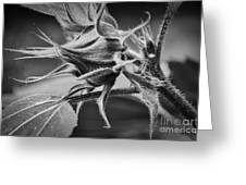 Budding Sunflower In Black And White Greeting Card