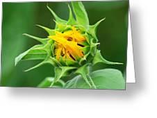 Budding Sunflower Greeting Card