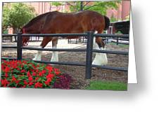 Budweiser Clydesdale Greeting Card