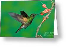 Buff-tailed Coronet Greeting Card