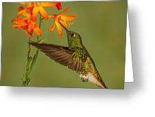 Buff-tailed Coronet Hummingbird No 1 Greeting Card