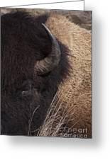 Buffalo   #0921 Greeting Card