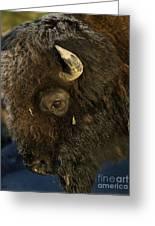 Buffalo   #5601 Greeting Card