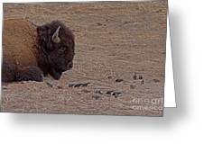 Buffalo And Birds   #2236 Greeting Card
