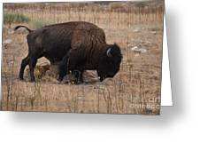 Buffalo Of Antelope Island Iv Greeting Card