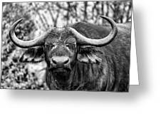 Buffalo Stare In Black And White Greeting Card