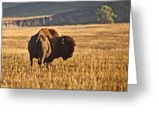 Buffalo Watching Greeting Card