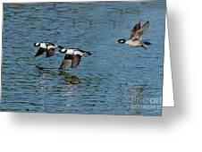 Bufflehead Duck Trio In Flight Greeting Card