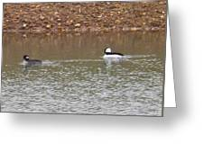 Buffleheads 3 Greeting Card