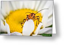 Bug On A Daisy Greeting Card