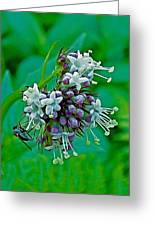 Bug On Wild Mint On Great Glacier Trail In Glacier National Park-british Columbia  Greeting Card